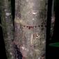 Óleo Resina (Seiva) de Sangue de Dragão | O sangue cicatizante da floresta | 100% Puro | 10ml | Terra Flor
