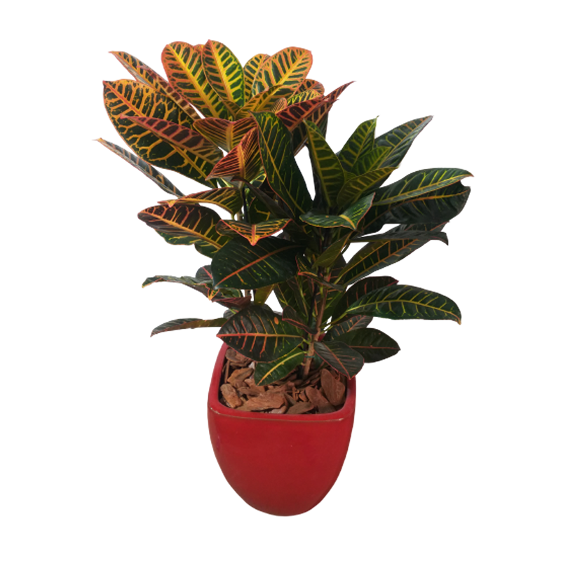 Arranjo de Croton em vaso vietnamita vermelho