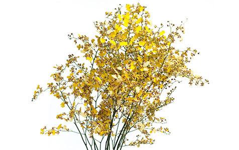 Orquídea Chuva de Ouro em maço.