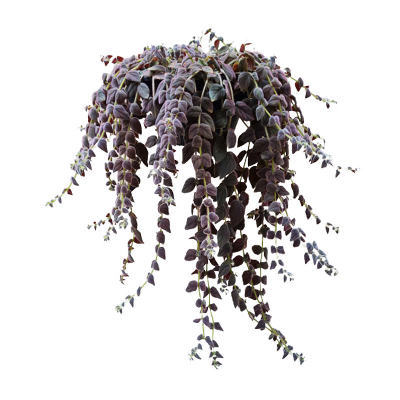 Columéia Gloriosa cuia 21 cm