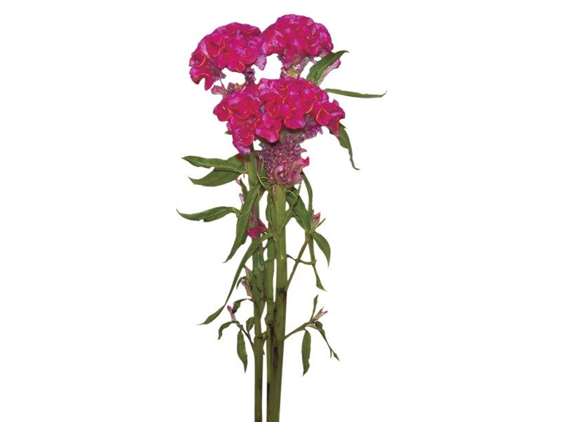 Celósia Rose Chief 70 cm<br>maço com 5 hastes