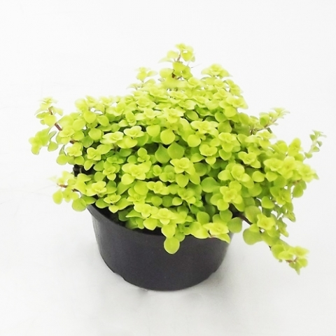 Brilhantina Amarela<br>pote 11 cm