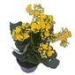 Flor da Fortuna - Kalanchoe <br> dobrado pote 15 cm