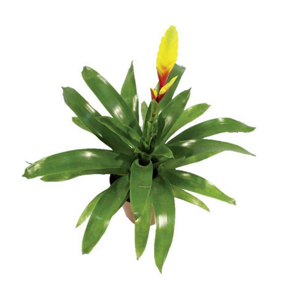 Bromélia Vriesea Amarela<br>pote 14 cm