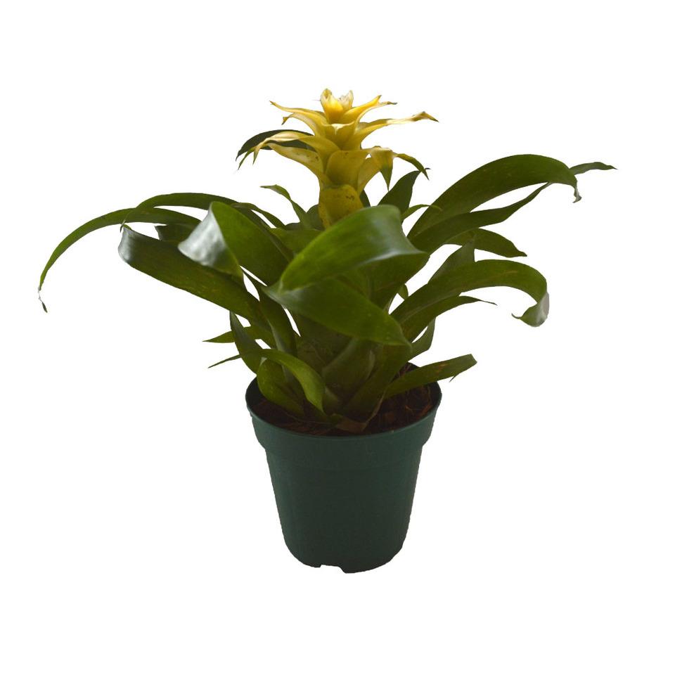 Bromélia Guzmânia Amarela<br>pote 12 cm
