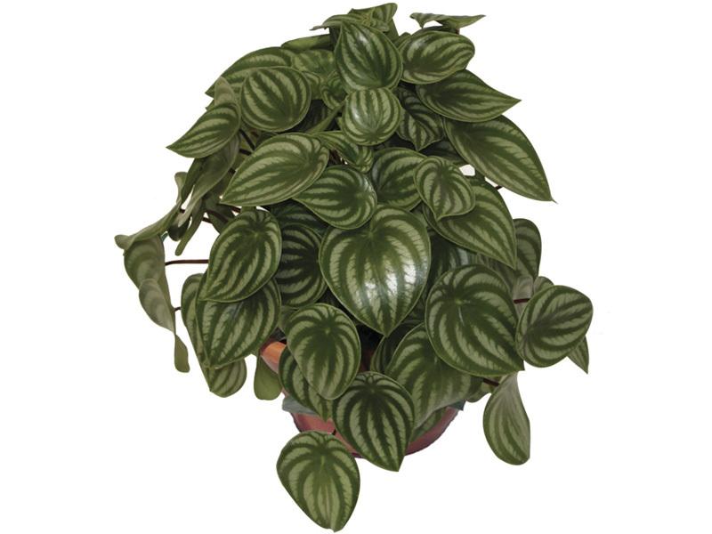 Peperômia Melancia<br>cuia 21 cm