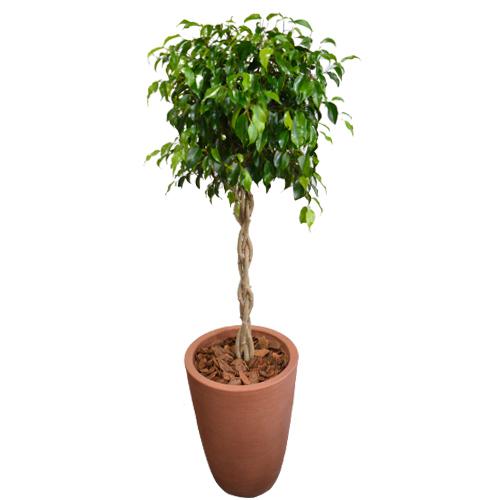 Arranjo de Ficus Verde Trançado em Vaso de Polietileno. Selecione a cor: