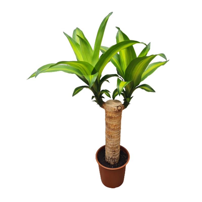 Dracena Massangeana com tronco pote 12 cm