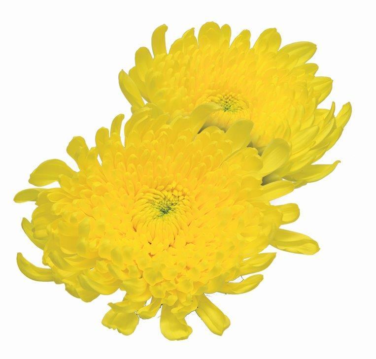 Crisântemo Amarelo Shuriki 70 cm<br>maço com 10 hastes