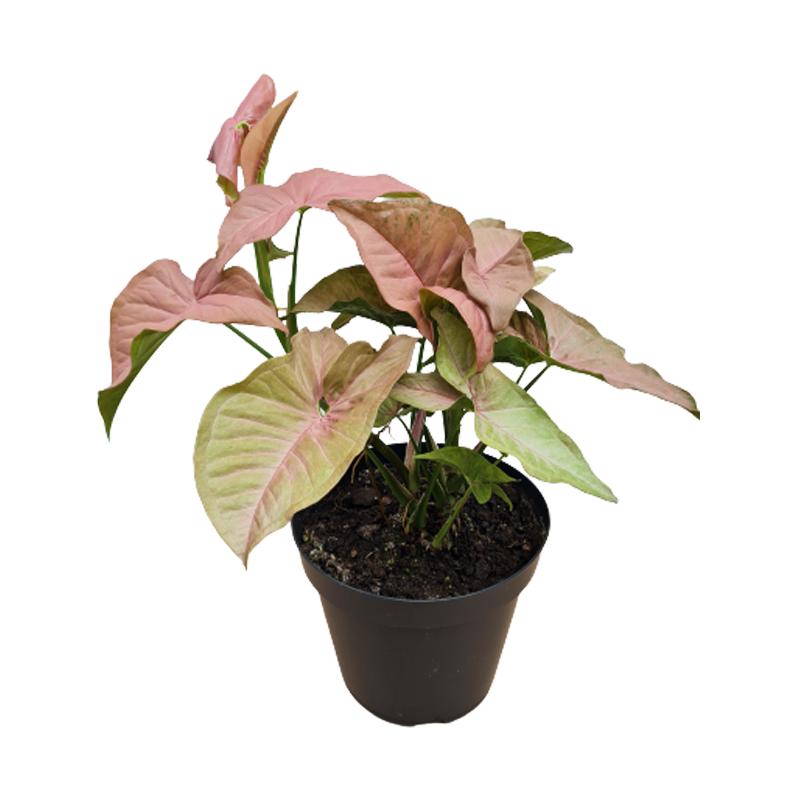 Singônio Rosa pote 20 cm