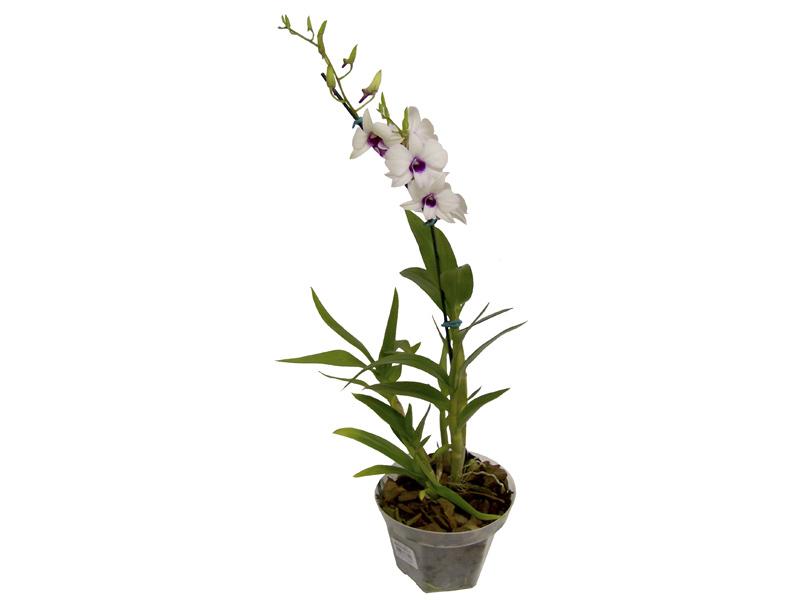 Orquídea Denphalen Branca<br>pote 13 cm