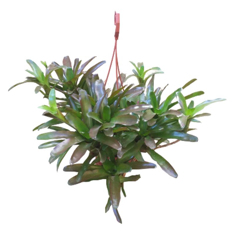 Bromélia Neoregelia Fireball cuia 21 cm
