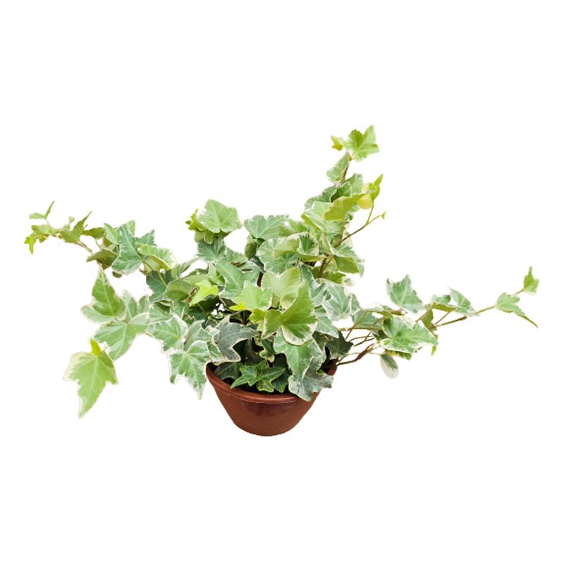 Hera variegata cuia 13 cm