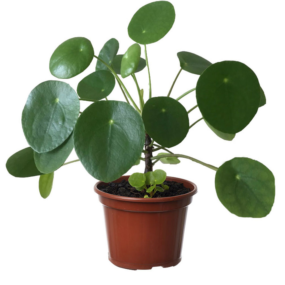 Pilea peperomioides<br>pote 14 cm