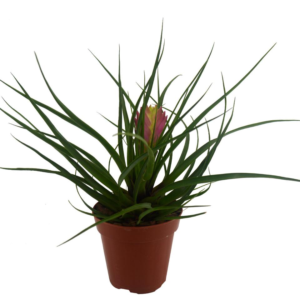 Bromélia Tilândsia<br>pote 9 cm