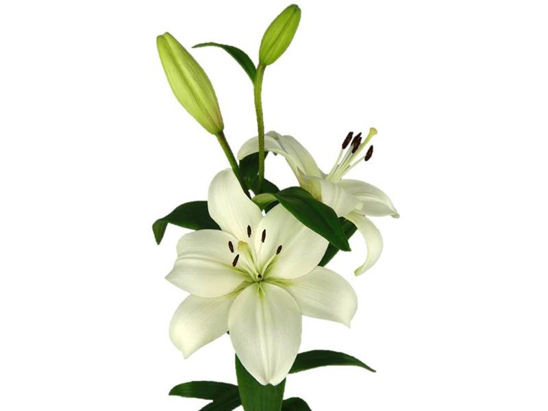 Lírio Asiático Branco 70 cm <br>maço com 5 hastes