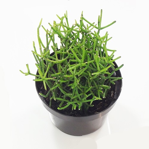 Rhipsalis<br>pote 11 cm
