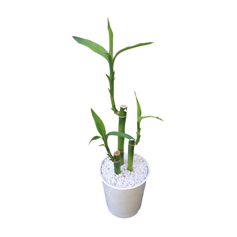 Dracena Lucky Bamboo pote 12