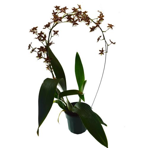 Orquídea Chocolate em Arco <br> Sharry Baby  pote 15 cm