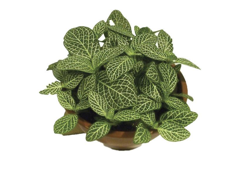 Fitônia- Planta Mosaico<br>cuia 13 cm. Escolha a cor: