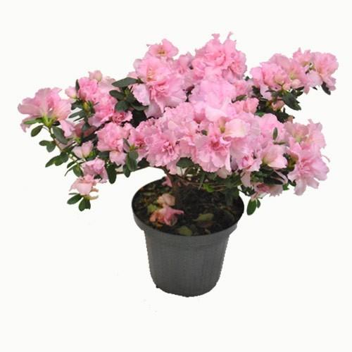 Azaléia Rosa<br>pote 20 cm