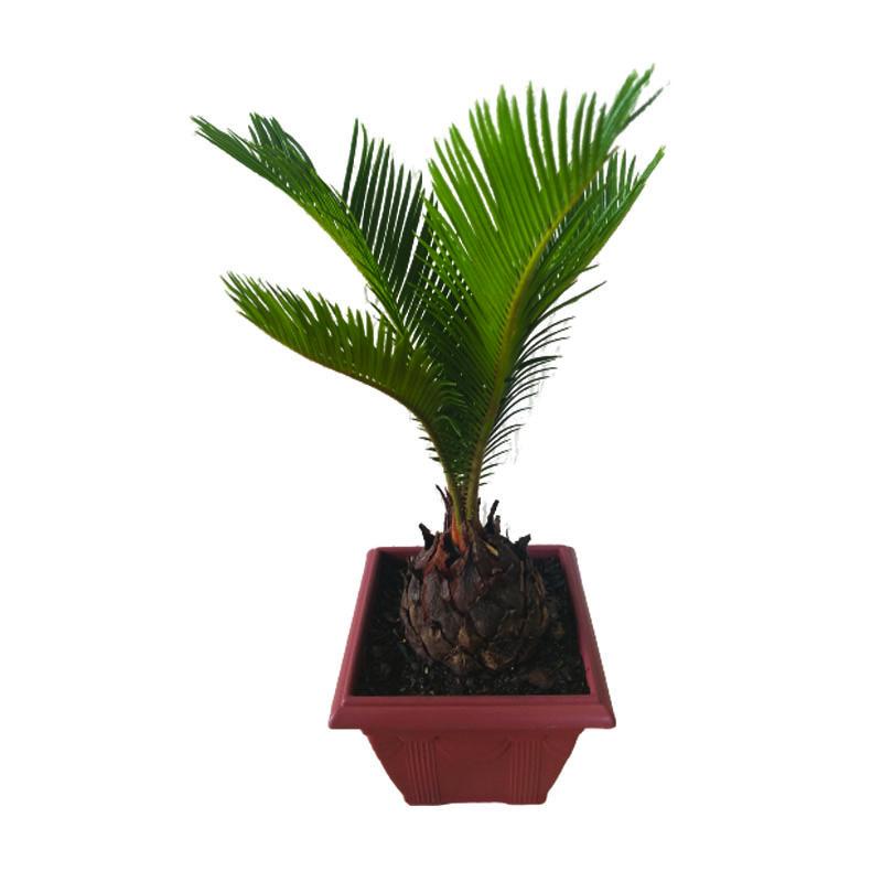 Cycas pote 9 cm