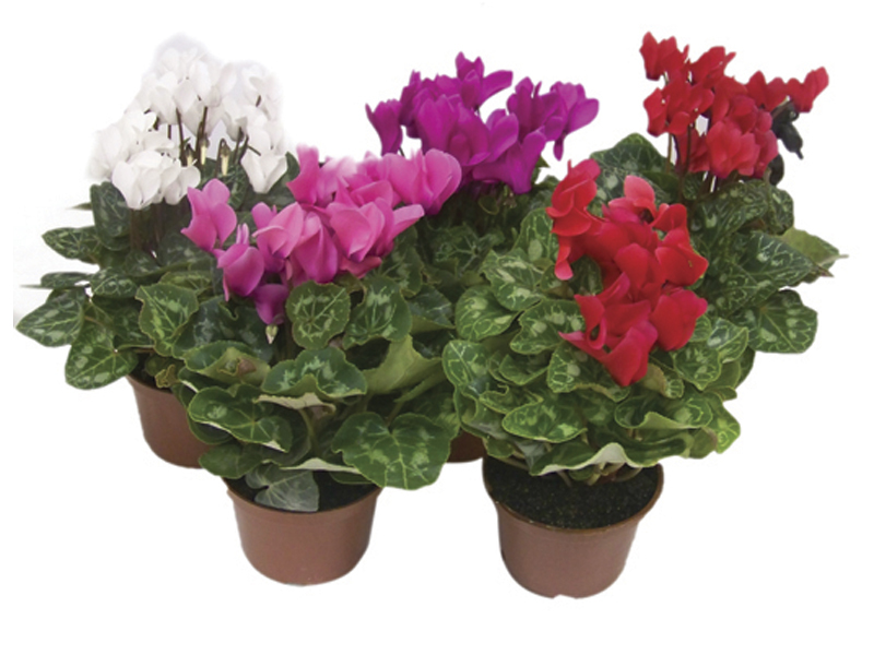Cyclamen / Ciclame<br>pote 14 cm
