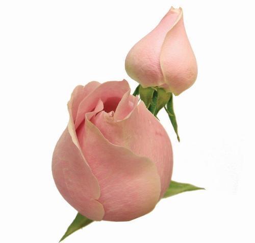 Rosa Shock Avalanche 40 cm <br> maço com 18 hastes