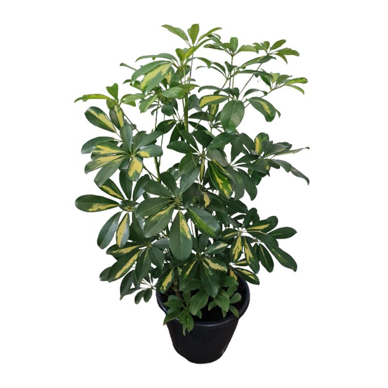 Schefflera Gold Capella pote 24 cm