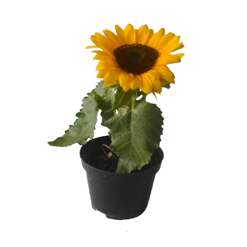 Mini Girassol<br>pote 11 cm