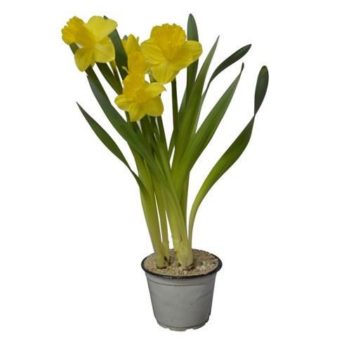 Narciso <br> Pote 14 cm