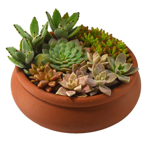 Arranjo de Suculentas <br> Vaso bonsai nº 1