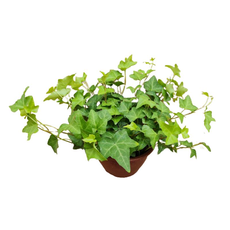 Hera verde cuia 13 cm