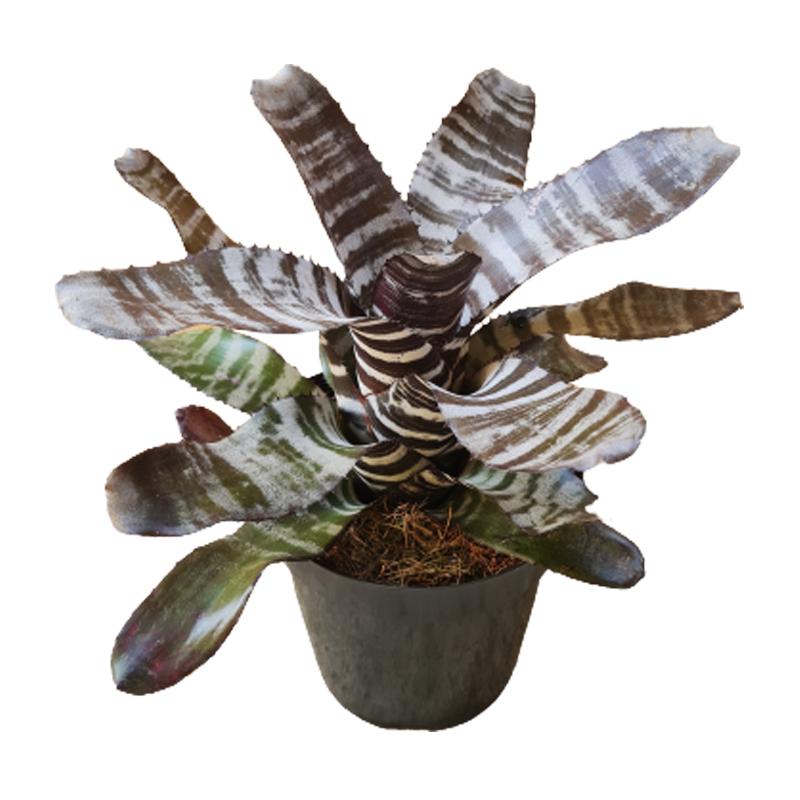 Bromélia Aechmea Chantini Black pote 14 cm