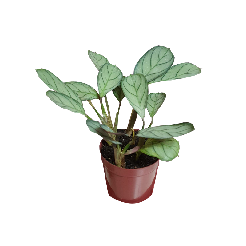 Calathea Amagris pote 12 cm