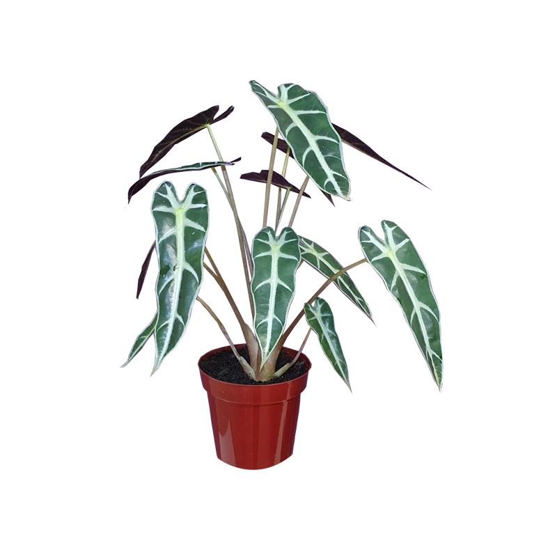 Alocasia Picollini pote 12 cm