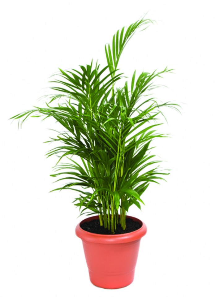 Palmeira Areca Bambu<br>pote 24 cm