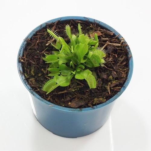 Planta Carnívora Natural PT 11