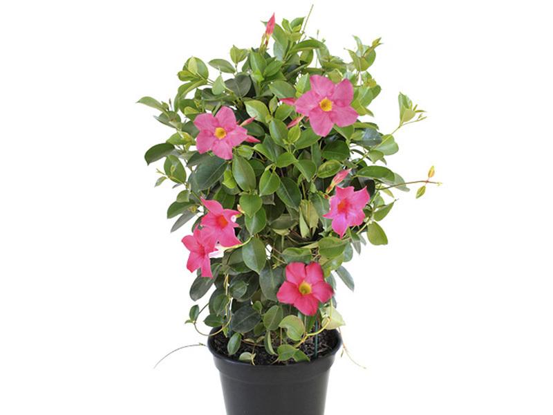 Dipladênia Rosa- Mandevilla<br>pote 15 cm