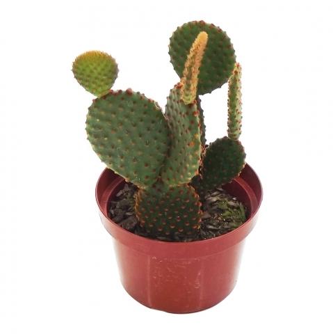 Mini Cacto 25<br>pote 11 cm