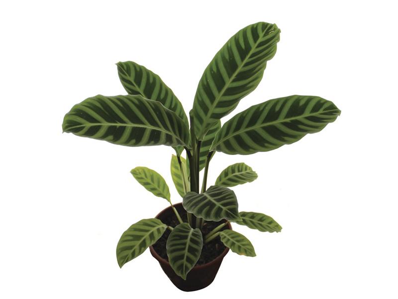 Maranta Zebrina<br>pote 17 cm
