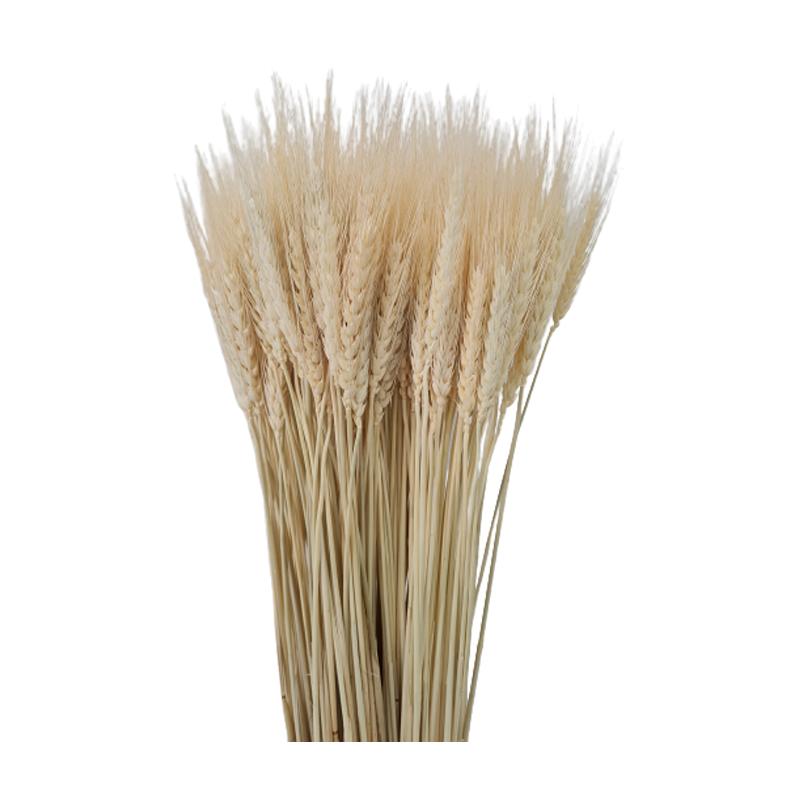 Trigo Alvejado seco maço com 200 hastes