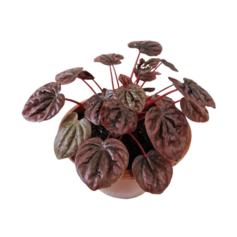 Peperômia Roxa <br> Cuia 13 cm