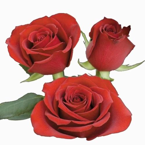 Rosa vermelha 40 cm <br>maço com 18 hastes
