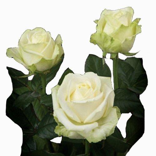 Rosa Avalanche 40 cm <br>maço com 18 hastes