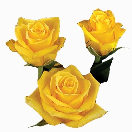 Rosa amarela 40 cm <br>maço com 18 hastes