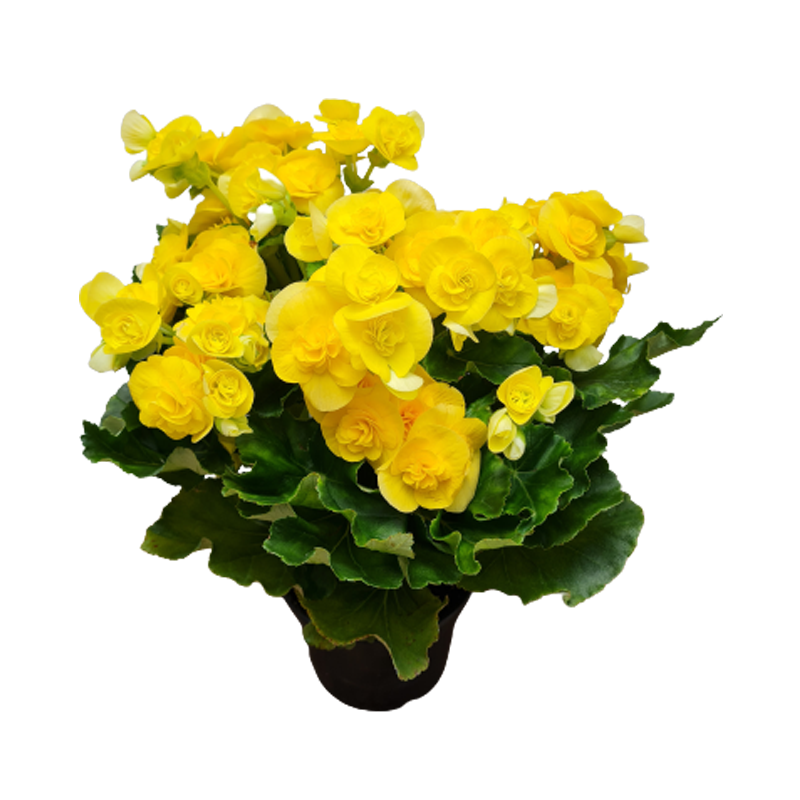 Begonia amarela pote 15 cm