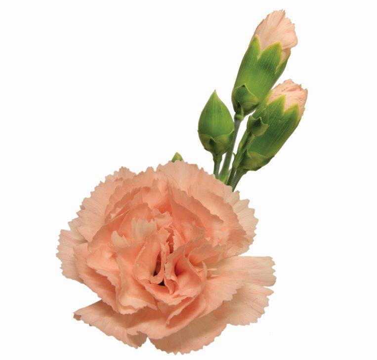 Cravo Spray Rosa- Cravina 70 cm<br> maço com 24 hastes
