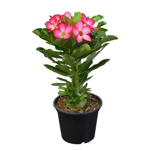 Rosa do Deserto Rosa<br> pote 15 cm