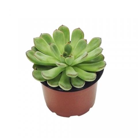 Suculenta Echeveria 01<br>pote 11 cm